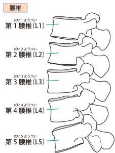 腰椎のモデル